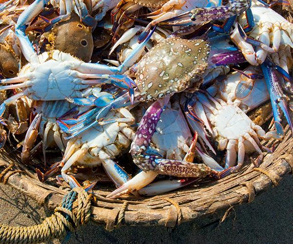 Freshly caught crabs in Negombo