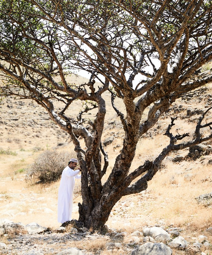 Harvesting resin from a frankincense tree