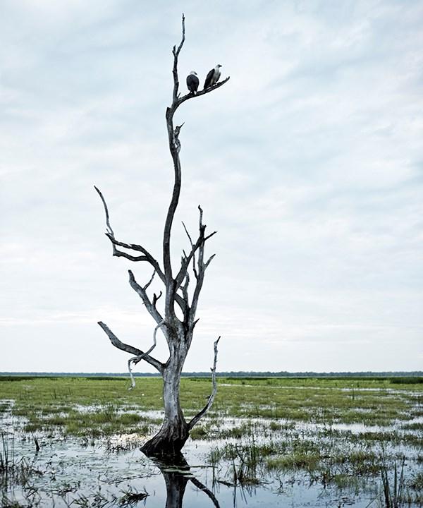A pair of ospreys survey the floodplain