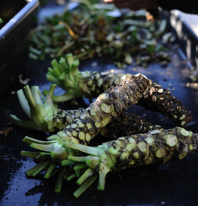 Wasabi plants at Shima Wasabi.