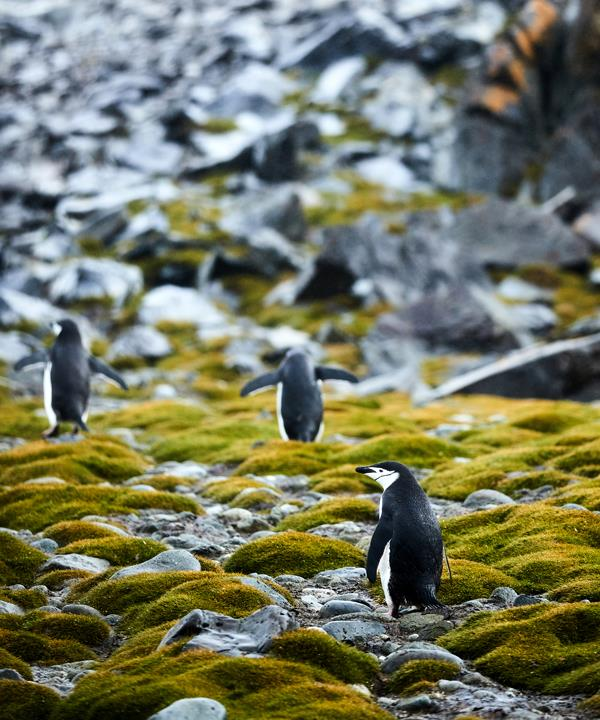 Chinstrap penguins and Antarctic hair grass on Robert Point, South Shetland Islands.