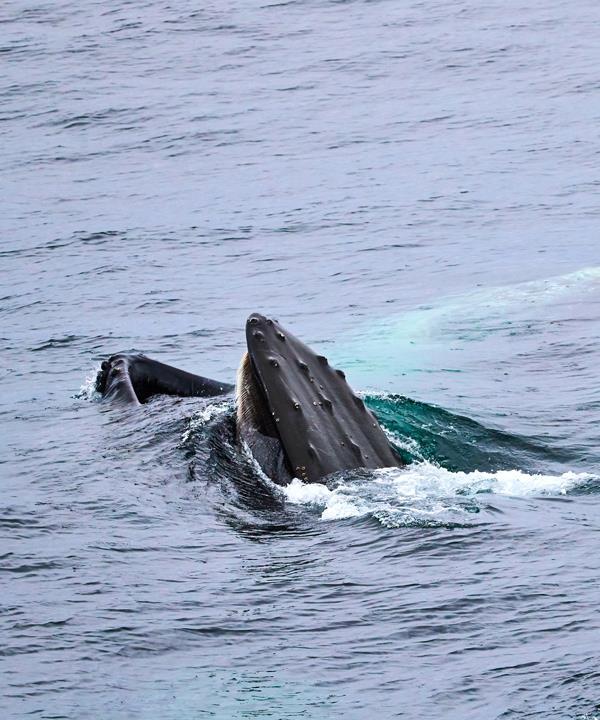 Feeding humpback whales.