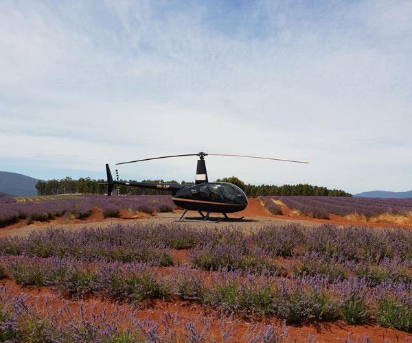 Unique Charter's helicopter at Bridestowe Lavender Estate, 45 minutes' drive north of Launceston.