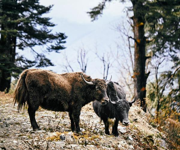 Yaks grazing on the mountain slopes.