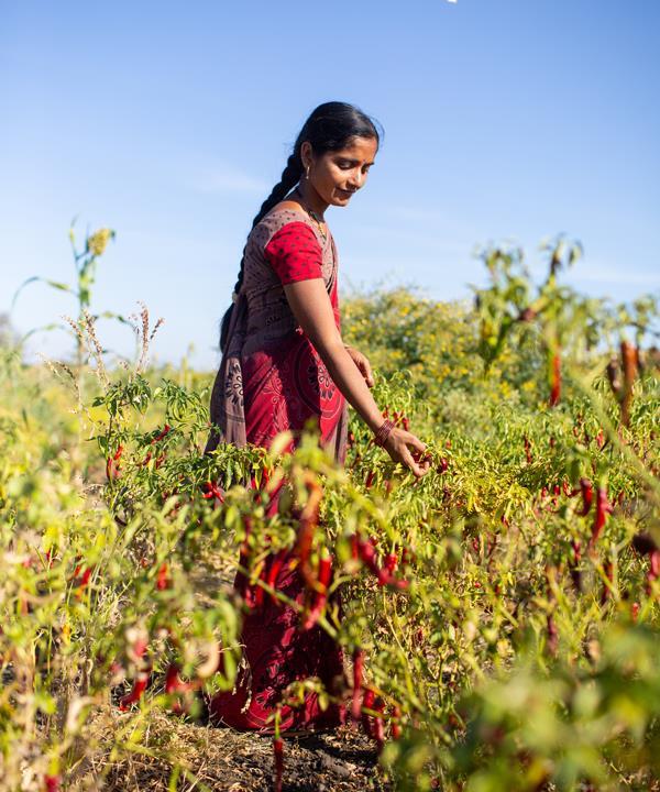 Diaspora Co. works with small-scale growers across India, including Vijayalaksmi who grows chillies on her farm in Karnataka