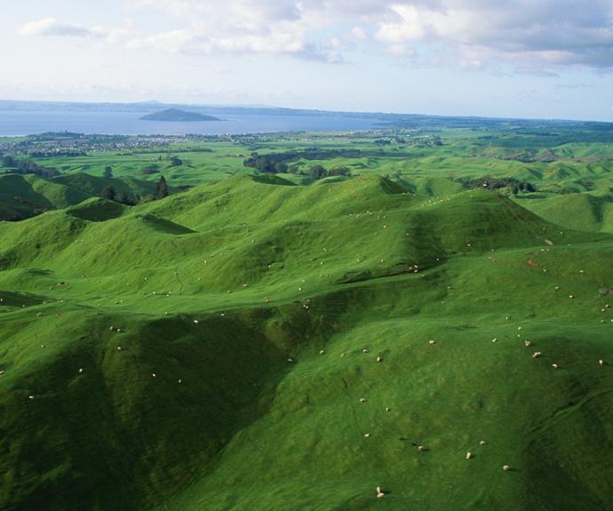 Sheep grazing in Rotorua.