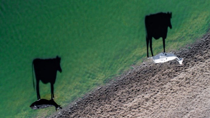 "**""TWO MOO"" IN SOUTH AFRICA BY LUKE BELL**  ""It was a cold early morning in South Africa on a farm near Stellenbosch. Two cows drinking from a nearby dam caught my eye when I saw their long shadows. I launched my drone to capture the scene in a way impossible with any other type of camera."""