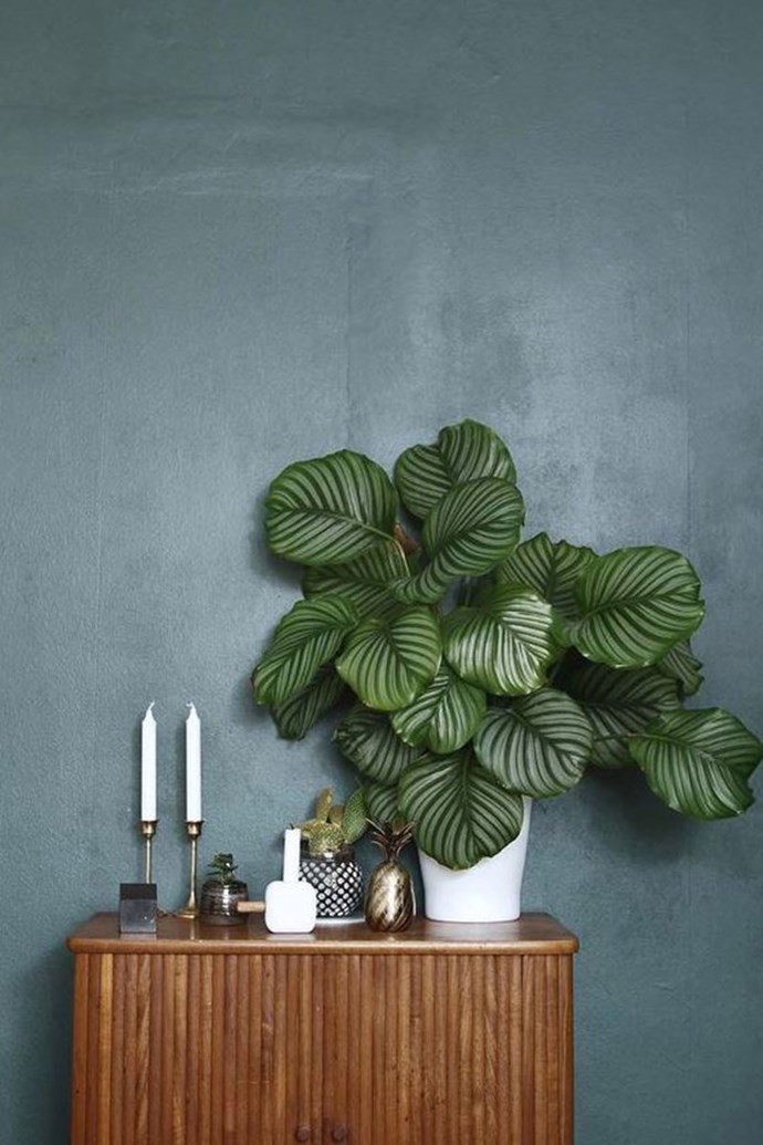 "**PATTERNED PLANTS** <br><br> Houseplants aren't just about one shade of green in 2018. Plants with vibrant, [patterned foliage and flashes of colour](https://www.homestolove.com.au/colourful-indoor-plants-6215|target=""_blank"") will illustrate colour diversity and complexity. <br><br> Saves for ""patterned plants"" have increased by 553 per cent. <br><br> Image via: [Pinterest](https://www.pinterest.com.au/pin/421438477621132504/