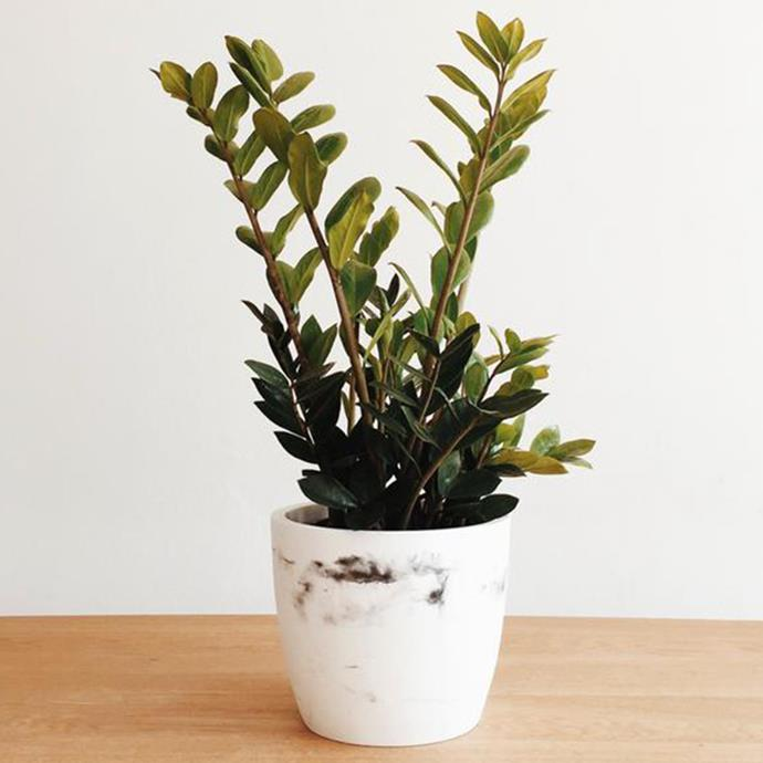 "Tom Lazarus, chief subeditor  <br><br> Crystal-balling my return, I can see… some coins, a few of them gold. So at $45, this haute houseplant should do nicely. It has a great name—Zanzibar gem—a Jurassic look and is said to handle neglect like a pro. You're on borrowed time, ficus. <br><br> Zanzibar gem, $45, from [Domus Botanica](https://www.domusbotanica.com.au/products/zanzibar-gem|target=""_blank""