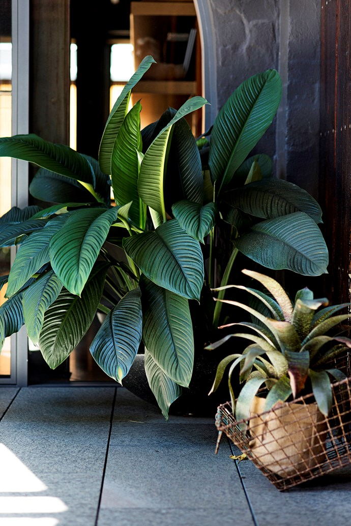 Healthy specimens include *Spathiphyllum* 'Sensation' (left) and a bromeliad, *Vriesea fosteriana*.