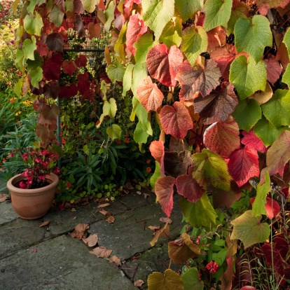 **Crimson glory vine** are an excellent option for times when you need an extremely fast-growing creeper or climber to hide a wall or other eyesore in the garden. Other fast-growing alternatives include Bower of beauty vine (*Pandorea jasminoides*) has trumpet-shaped blooms, commonly available in pink flowers with a crimson throat. *Photo courtesy of Getty Images.**