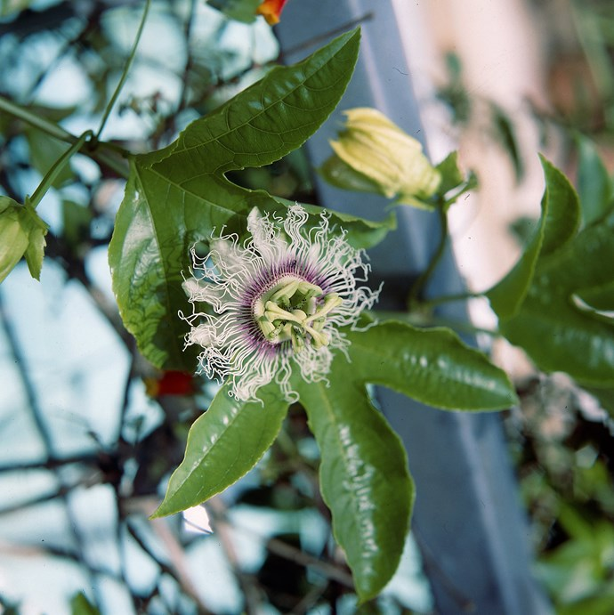 **Passionfruit vines** are an ideal climber that do double duty as an edible plant in your garden. They do best in warm areas. For other alternatives, you could go retro with a choko vine. Seasonal vegies that work well to cover a wall include climbing spinach, peas and snow peas, beans and cucumbers. *Photo: ACP Staff / bauersyndication.com.au*