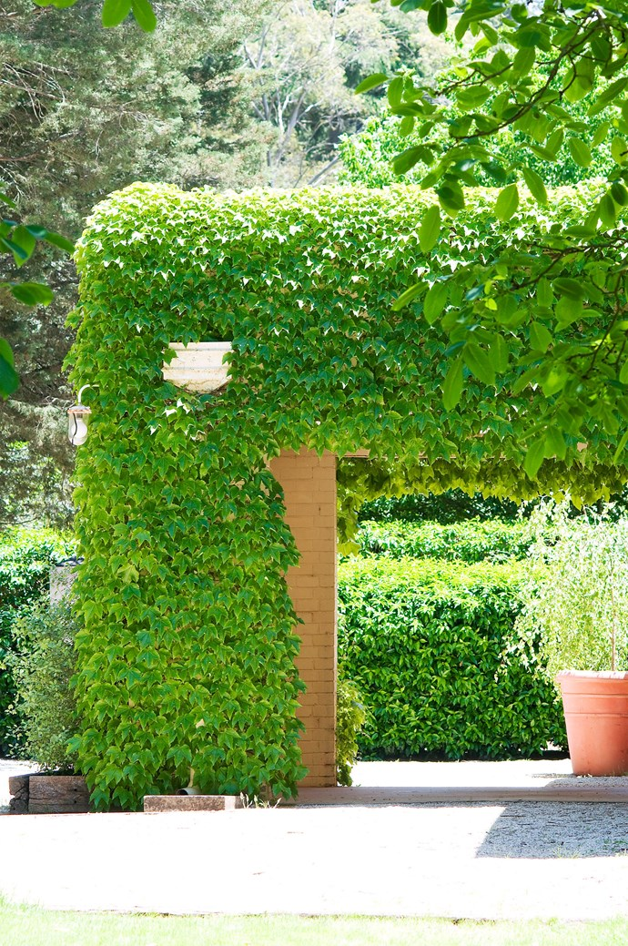 **Boston ivy** is a voluptuous climber that will spread freely to camouflage a shed, garage or tank. With or without a trellis, climber or creeper plants can cover bare courtyard fences or garden walls turning your backyard into a gorgeous green oasis. Banksia rose (*Rosa banksiae*) is evergreen and thornless and suitable in sub-tropical through to cold climates. For perfume, consider lemon-scented jasmine (*Jasminum azoricum*) or climbing bauhinia (*Bauhinia corymbosa*), both are perfect for warm areas. But beware, they are not frost tolerant. *Photo: Robert Reichenfeld / bauersyndication.com.au*