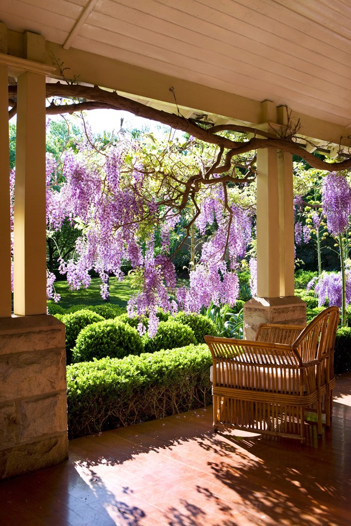 **Wisteria** is a classic climber with flowers that hang down when draped across a patio roof or passageway. Being deciduous, wisteria provides summer shade and winter sun, as does crimson glory vine (*Vitis coignetiae*), which has dazzling autumn colour. To clothe an outdoor pavilion or pagoda, try chocolate-scented Akebia quinata, fragrant white bridal wreath (Stephanotis) or yellow Carolina jasmine (*Gelsemium sempervirens*). *Photo: Jason Busch / bauersyndication.com.au*