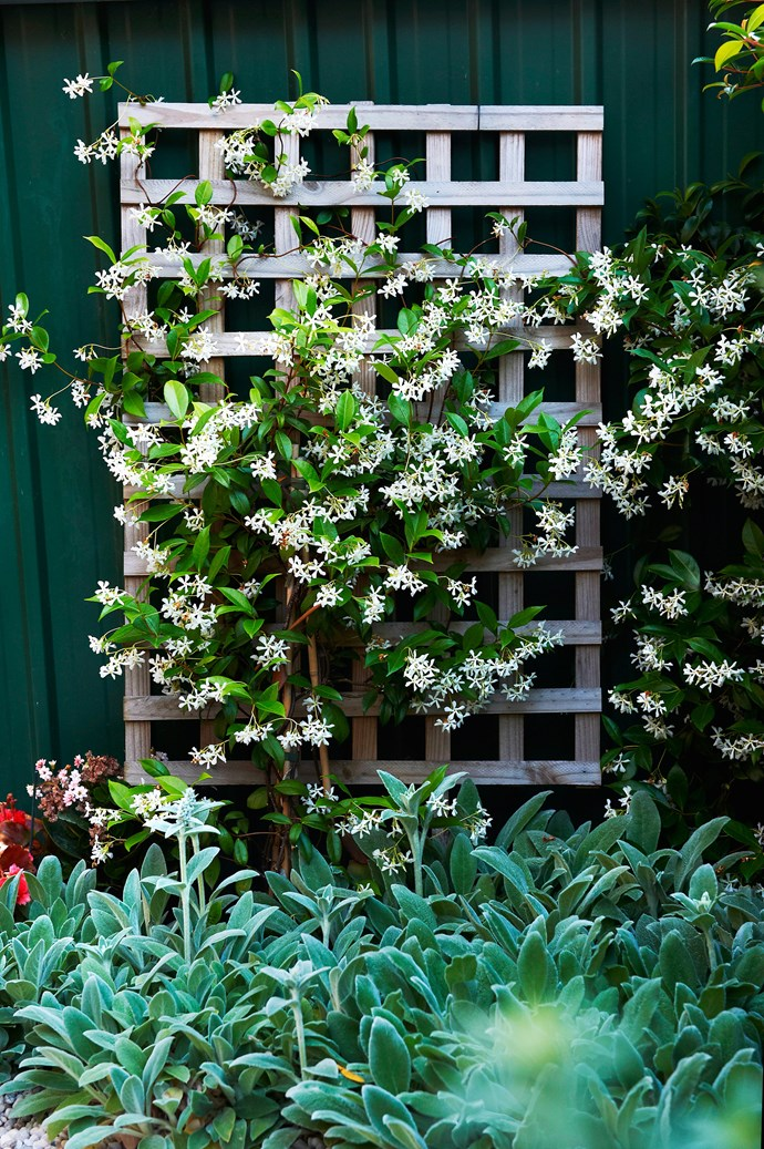 **Star jasmine** is the best choice for shady fences (*Trachelospermum jasminoides*). Other shade lovers are climbing hydrangea (*Hydrangea petiolaris*), creeping fig and ivy. When planting a climber, consider how much sun or shade they will receive. Sun-loving climbers in shady spots will bolt to the top and leave the fence bare.
