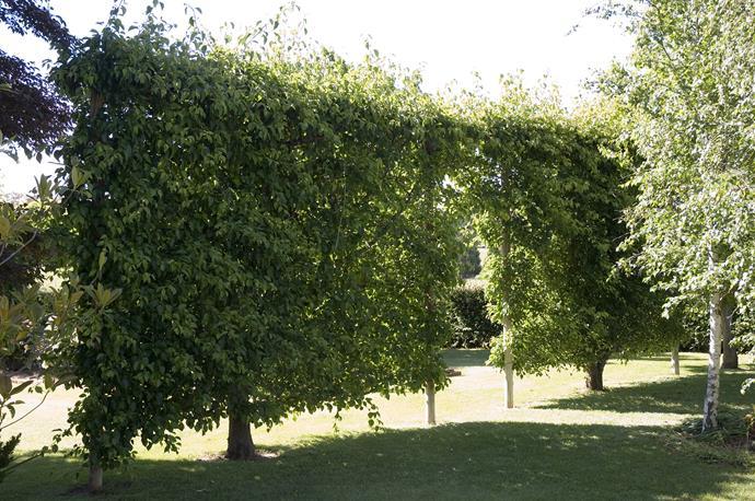**Other commonly used screening plants**  Pittosporum 'James Stirling' (*Pittosporum tenuifolium*); Sweet viburnum (*Viburnum odoratissimum) - fast growing - or *Viburnum tinus * (slower growing); Buxus 'Box hedge'; Weeping lilly pilly (*Waterhousea floribunda*).   Photo: Simon Kenny / bauersyndication.com.au