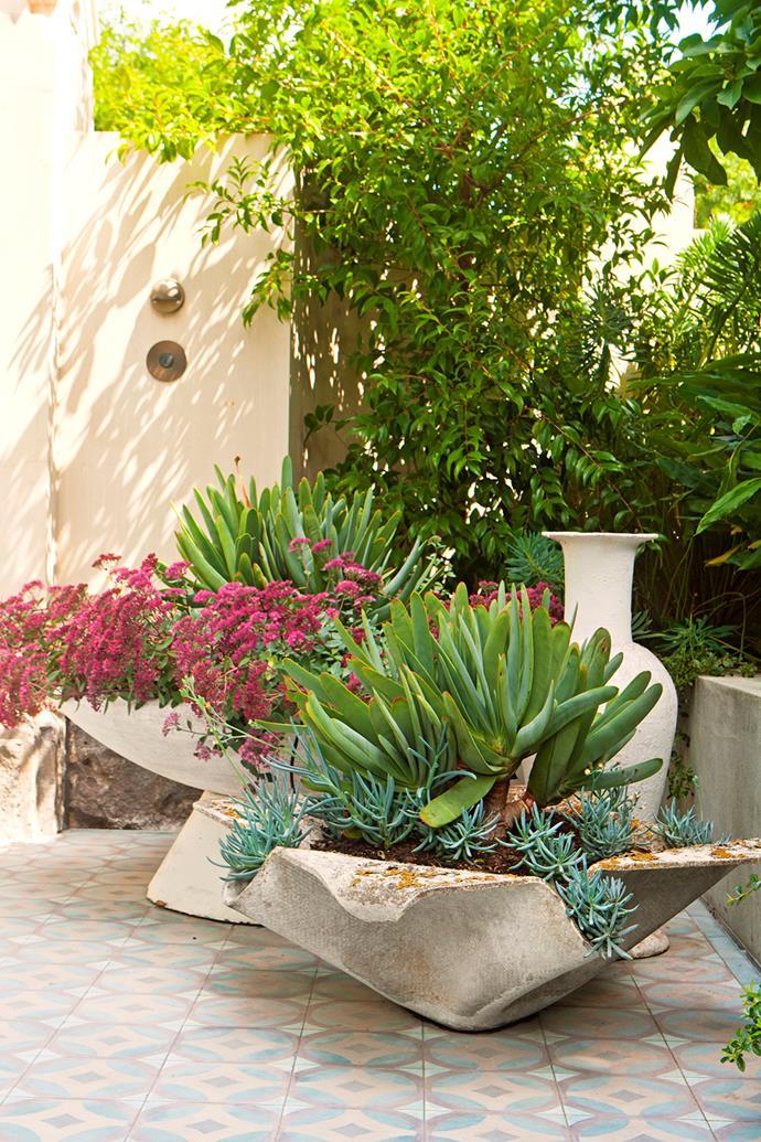 French fibre cement pots are planted with fan aloes (*Aloe plicatilis*) and senecio.