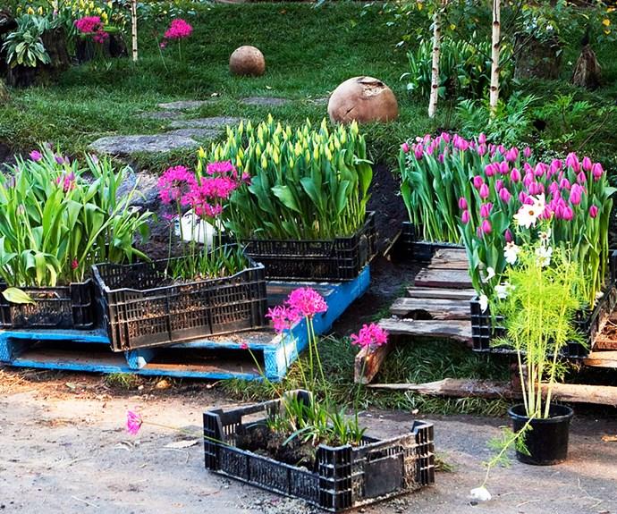 Spring flowering tulips