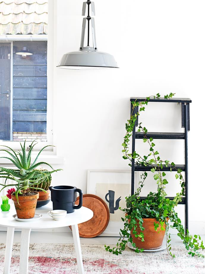 "**Climbing high:** They may seem unruly, but [climbing plants](https://www.homestolove.com.au/fast-growing-climbing-plants-1584|target=""_blank"") can easily grow in the direction you want – like this ivy (*Hedera helix*), which has been gently twisted around a vintage stepladder. Many climbing plants are easy to grow – just ask your local nursery which ones are suitable for growing inside."
