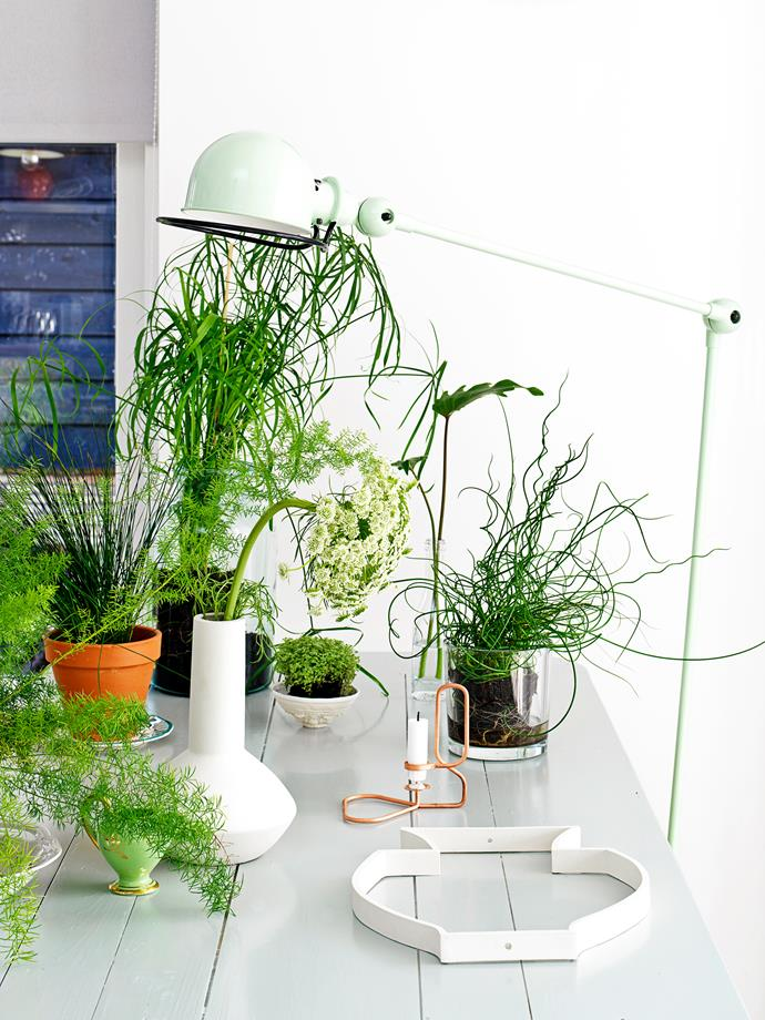 **Wild and free:** Display your indoor plants in various pots, dishes and vases to create a relaxed, airy grouping that can be easily rearranged.   **FROM LEFT** Asparagus fern (just visible), Juncus effusus rush (terracotta pot), Papyrus (large glass vase), dill weed (white vase), baby's tears or *Soleirolia soleirdii* (small white dish) and corkscrew rush or *Juncus effuses* 'Spiralis' (smaller glass vase).