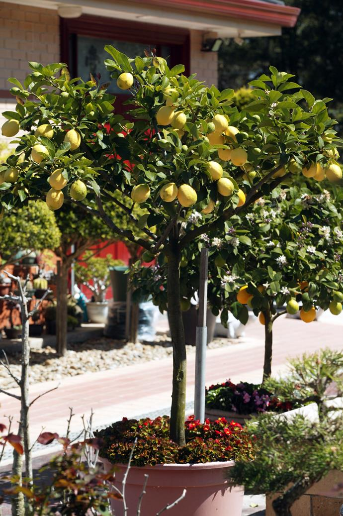 Fruit trees don't have to be massive. This potted Meyer lemon tree is attractive and also bears fruit. Photo: Brent Wilson / bauersyndication.com.au