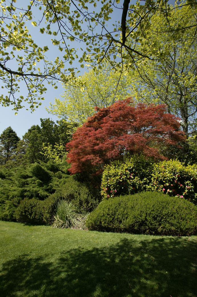 A Japanese maple brings a blush of red to this garden. Photo: Brent Wilson / bauersyndication.com.au