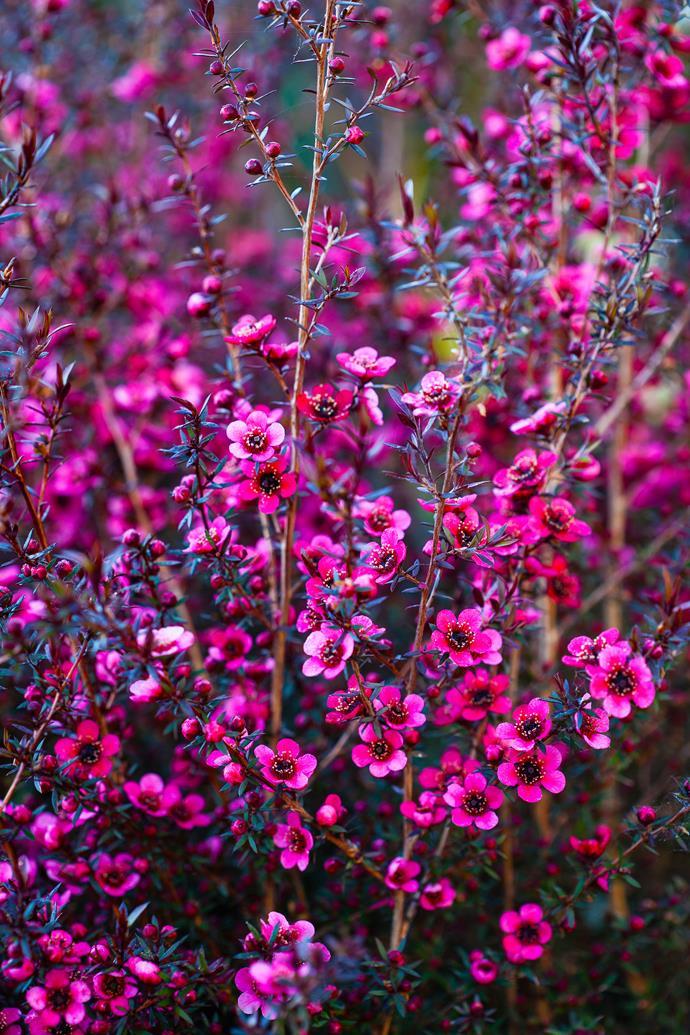 The bright pinky red of the Crimson tea-tree 'Crimson Glory' (*Leptospermum scoparium*).