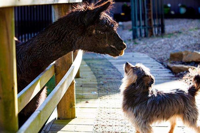 Jessie's pets: Adonis the alpaca and his pal Billy the silky terrier-cross.
