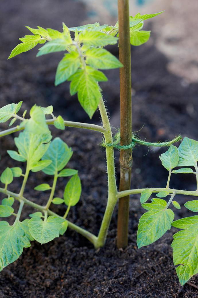 Keep your tomato plants healthy and happy by staking them and giving them plenty of room. Photo: Dean Wilmot / bauersyndication.com.au