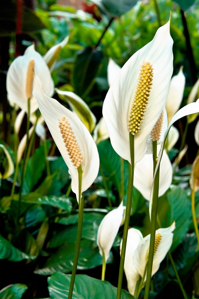 """**Shade lover:** Peace lily (*Spathiphyllum*)  A very popular indoor plant, this glossy-leafed beauty thrives in a warm, bright spot out of direct sun. The white blooms are very long-lasting. Photo: [Flower Power](http://www.flowerpower.com.au/?utm_campaign=supplier/ target=""""_blank"""")"""