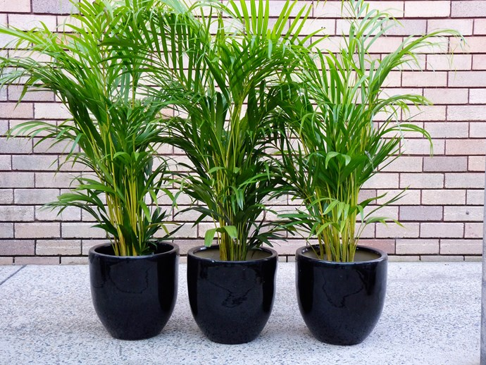 """**Shade lover:** Golden cane palm (*Dypsis lutescens*)  If you need a tall (to 10m), dense, screen, this clumping palm is a great choice. It's lush and undemanding, although drying winds and hot sun can burn leaf tips. Photo: [Flower Power](http://www.flowerpower.com.au/?utm_campaign=supplier/ target=""""_blank"""")"""