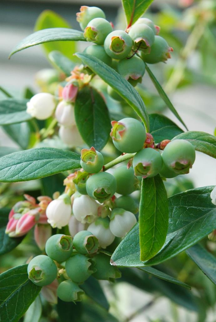 "**Sun lover:** Blueberry   Delicious blueberries are easy to grow in pots and have pretty, profuse flowers. Choose evergreen varieties such as Blueberry Burst to look good year-round. Photo: [Ramm Botanicals](http://www.ramm.com.au/?utm_campaign=supplier/|target=""_blank"")"