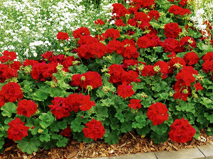 """**Sun lover:** Geranium Big Red (*Pelargonium x hortorum Big Red*) The star performer among geraniums, with bold red flowers most of the year and terrific disease resistance. Photo: [Flower Power](http://www.flowerpower.com.au/?utm_campaign=supplier/ target=""""_blank"""")."""