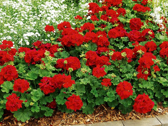 "**Sun lover:** Geranium Big Red (*Pelargonium x hortorum Big Red*) The star performer among geraniums, with bold red flowers most of the year and terrific disease resistance. Photo: [Flower Power](http://www.flowerpower.com.au/?utm_campaign=supplier/|target=""_blank"")."