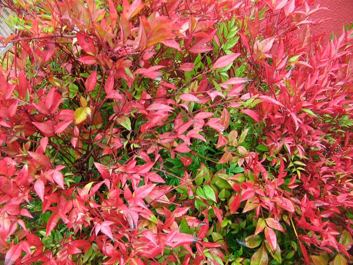 "**Sun lover:** Dwarf sacred bamboo (*Nandina* Gulf Stream, Flirt and Obsession)  Great texture and colour combine with toughness in this foliage plant. The colour intensifies in cool weather. Photo: [Flower Power](http://www.flowerpower.com.au/?utm_campaign=supplier/|target=""_blank"")"