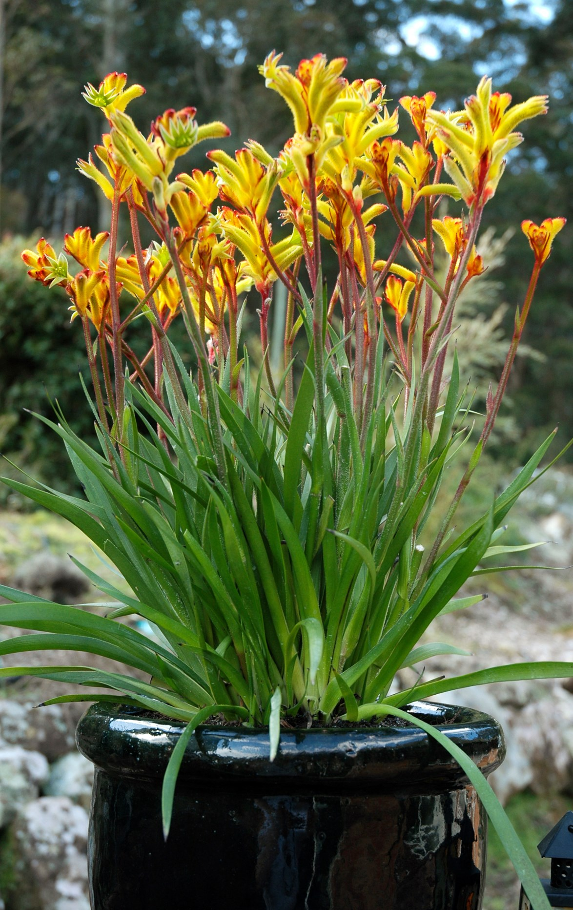 Dwarf kangaroo paw (Anigozanthos Bush Gems series Bush Fantasy) is popular for its superior flowering and performance. *Photo: Ramm Botanicals*
