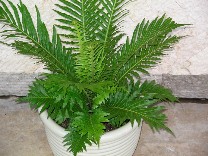 """**Shade lover:** Silver lady fern (*Blechnum Silver Lady*)  It's the way the lush fronds are arranged in an orderly rosette that makes this fern stand out. Despite looking delicate, it's quite tough. Photo: [Flower Power](http://www.flowerpower.com.au/?utm_campaign=supplier/ target=""""_blank"""")"""