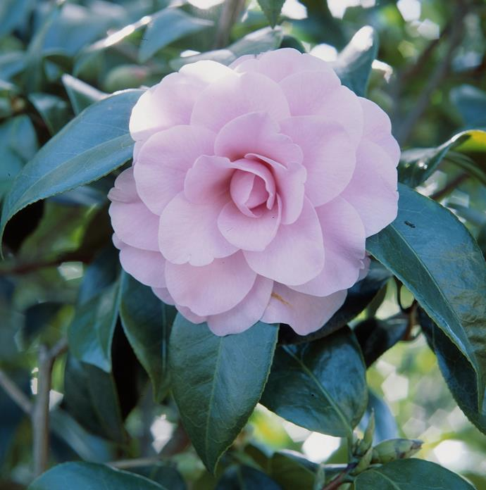 **Shade lover:** Camellia (*Camellia japonica*)  Dark, lustrous foliage is the perfect foil for large and beautiful winter flowers, in pink, red and white. Choose a smaller variety for pots. Photo: bauersyndication.com.au