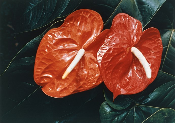 **Shade lover:** Flamingo flower (*Anthurium*)  Like peace lilies, these prefer bright light without direct sun in a warm climate. The flowers last for months: use them as a table centrepiece or for splashes of colour. Photo: bauersyndication.com.au