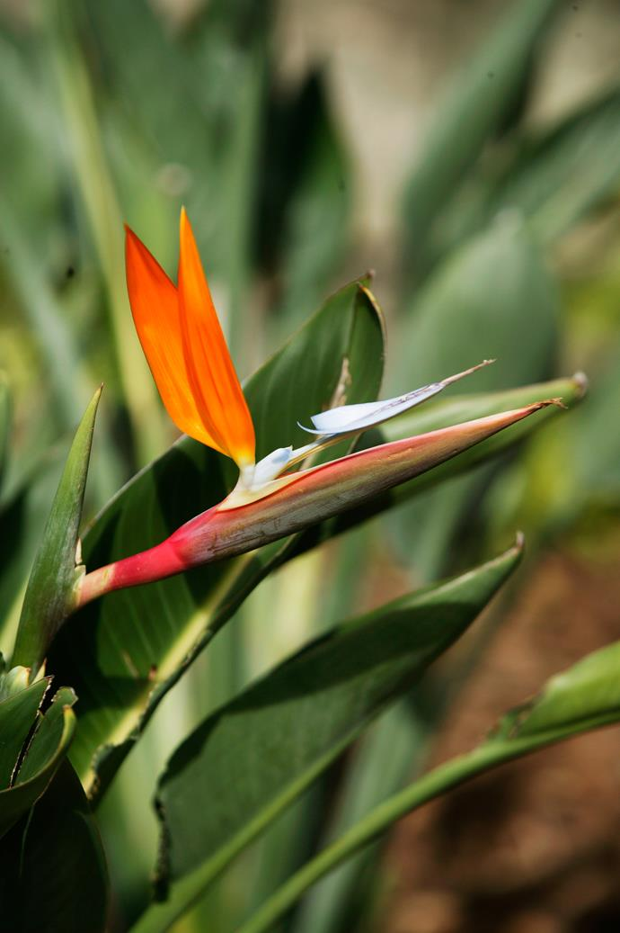 **Sun lover:** Bird of paradise (*Strelitzia reginae*)  Silvery leaves and exotic flowers make this a striking accent plant, yet it's tough as nails. Suitable for hot, exposed and windy spots. Photo: Brent Wilson / bauersyndication.com.au