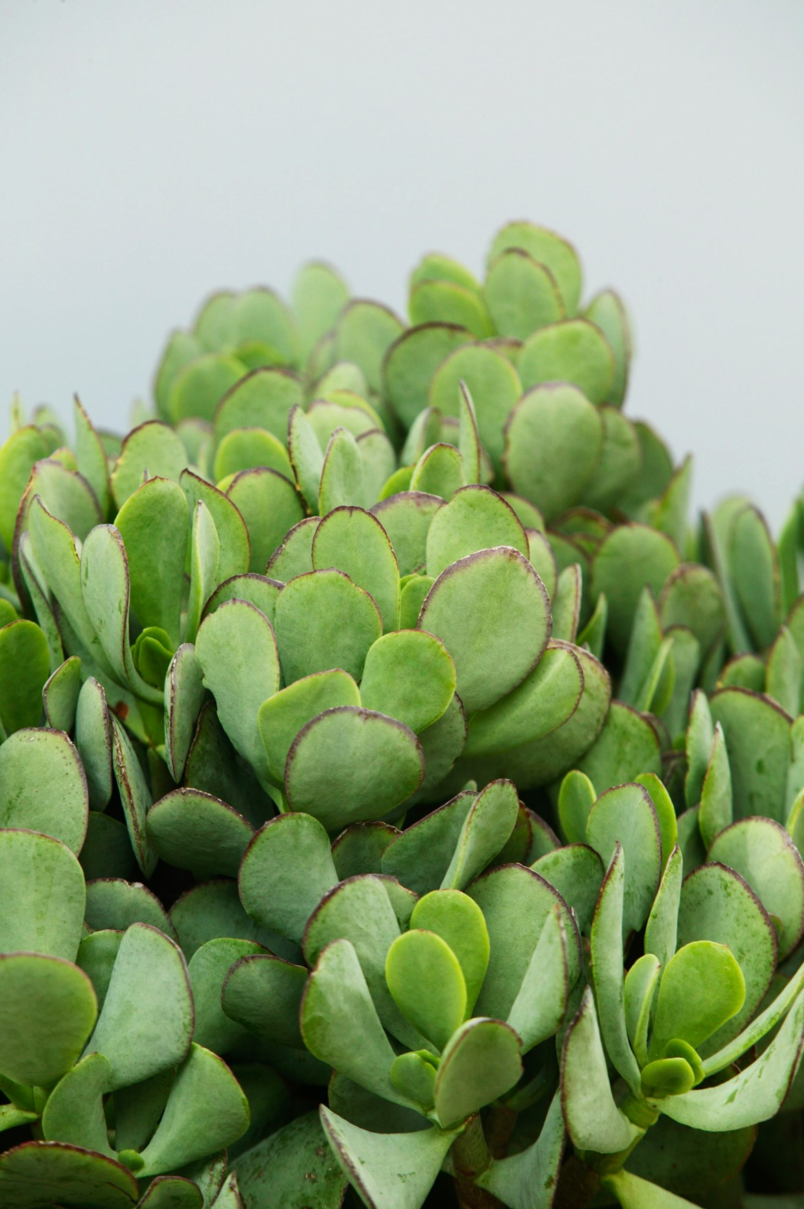 ade plant (Crassula ovate) A compact succulent with great form and pretty heads of pinky-white flowers. It practically thrives on neglect. *Photo:* Brent Wilson / *bauersyndication.com.au*