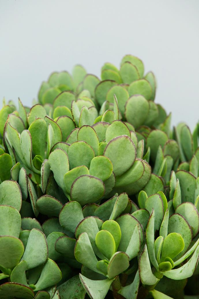**Sun lover:** Jade plant (*Crassula ovate*)  A compact succulent with great form and pretty heads of pinky-white flowers. It practically thrives on neglect. Photo: Brent Wilson / bauersyndication.com.au