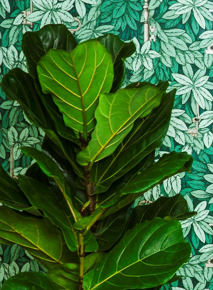"**Shade lover:** Fiddle-leaf fig (*Ficus lyrata*)  Popular as a house plant in the 1960s for its handsome, large leaves and un-killable nature, this rainforest tree is enjoying a welcome comeback to [garden designs](https://www.homestolove.com.au/garden-design-styles-19942|target=""_blank"") everywhere. Tall and striking wherever it's placed. Photo: Scott Hawkins / bauersyndication.com.au"