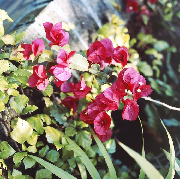 **Sun lover:** Dwarf Bougainvillea (*Bougainvillea Bambino*)  Bougainvilleas soak up heat and sun, responding with displays of vivid colour. You can choose from a range of colours and heights. Photo: ACP Photographic / bauersyndication.com.au