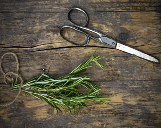Propagating rosemary using a cutting and honey