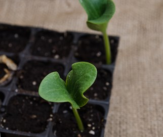 Pumpkin seedlings in a tray