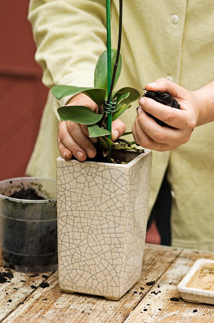 **Step 3** Firm down the bark around the roots so your orchid is firmly in place. Tapping the sides of the pot will make sure there are no air pockets that sink after watering.