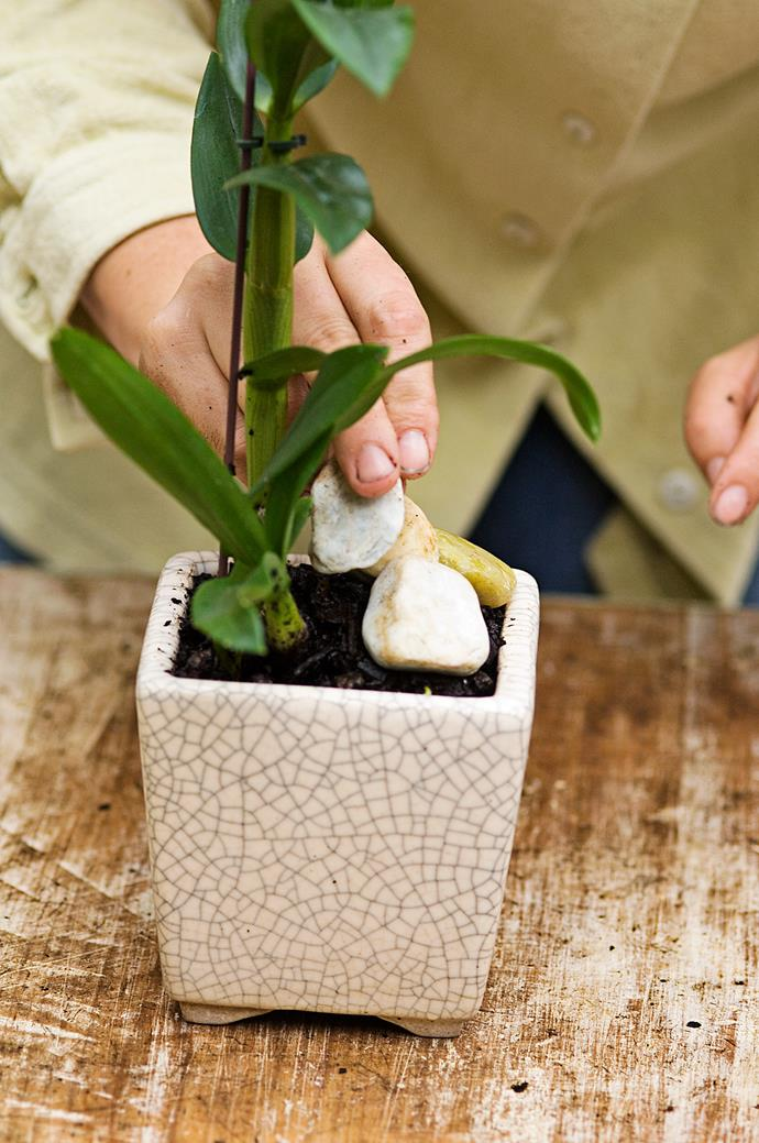 **Step 4** Mulch with pebbles to help hold the orchid in place. Let it dry out slightly between waterings which means two to three times a week.