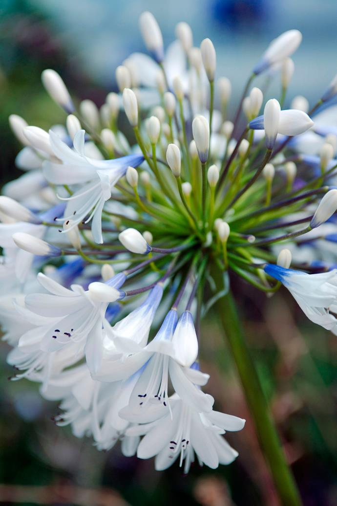 *Agapanthus* 'Queen Mum'. Photo: Getty Images