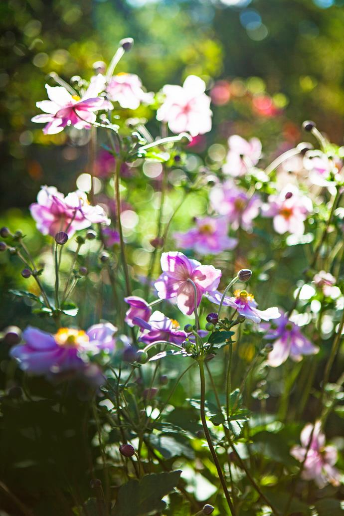 The delicate forms of Japanese windflowers, *Anemone hupehensis*, feature in a beautifully modernised garden in Ballarat, Victoria.